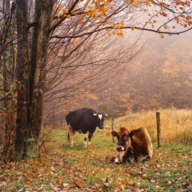 Photography image - Loading FS_Cows.jpg