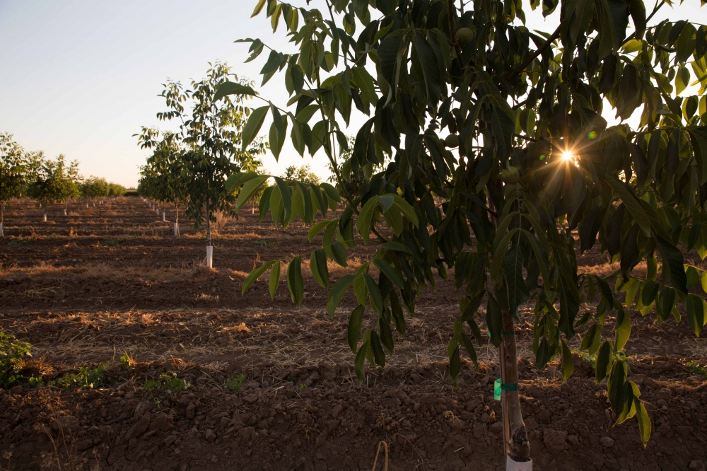 The sun sets behind a field of walnut trees near Taurusa, California. Because of the lucrative market for nuts in recent years, new nut orchards have been planted up and down the Central Valley. But planting trees is counterintuitive during the drought; nut trees take years to mature, require a permanent supply of water, and are one of the state's thirstiest crops. (They need one third more water per acre than grape vineyards.) Nut trees also are more mechanized and don't require as much manual labor as other row crops, thus decreasing the amount of work available for farmworkers. June 2016.