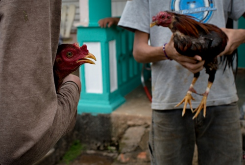 Cock fights and gambling are illegal in Cuba. Even so, front yard cock fights do take place. Here, in the front yard of a residential home in Vinales-a farming village two hours drive from Havana.