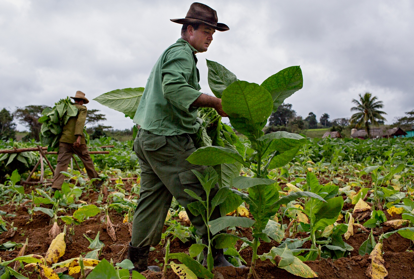 A tobacco farmer harvests tobacco leaves in Vinales-a farming village two hours drive from Havana. The leaves are hand harvested and then bundled and placed on wooden racks which then are taken into huts to dry.