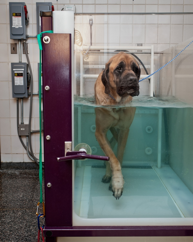 An English Mastiff at his weekly hydrotherapy session.