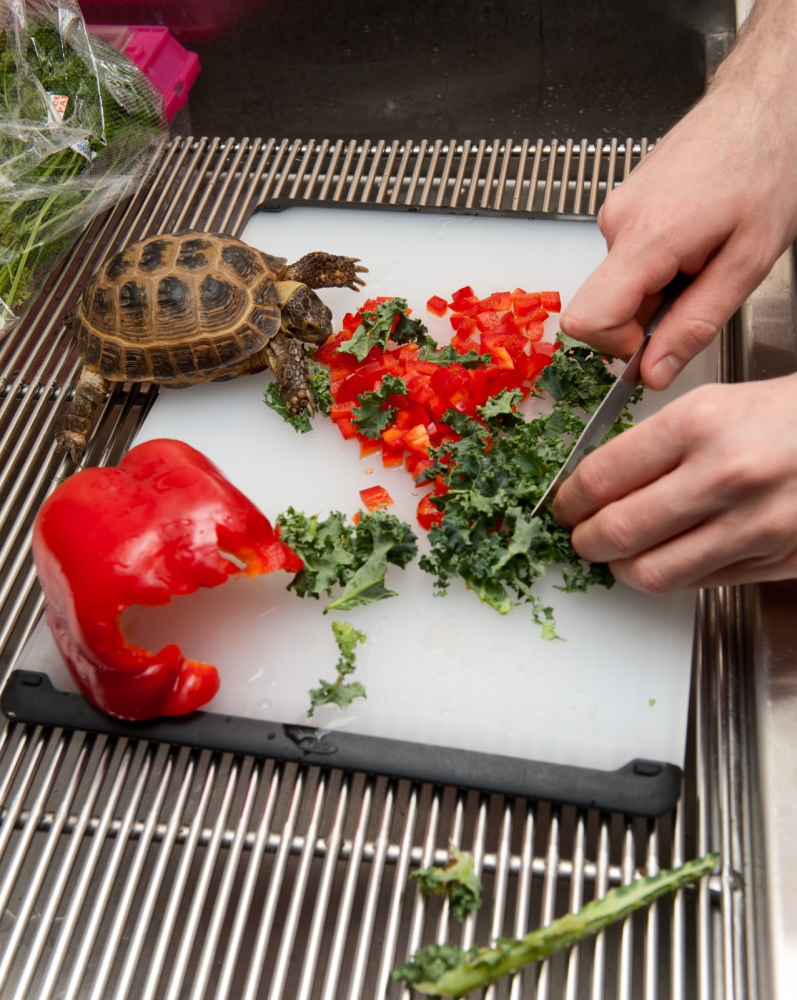 Preparing lunch for a Russian Tortoise.