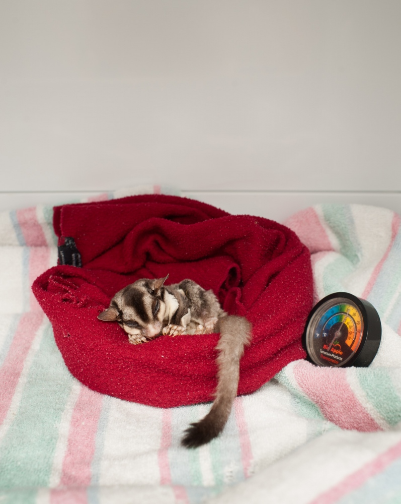 A Sugar Glider in intensive care.
