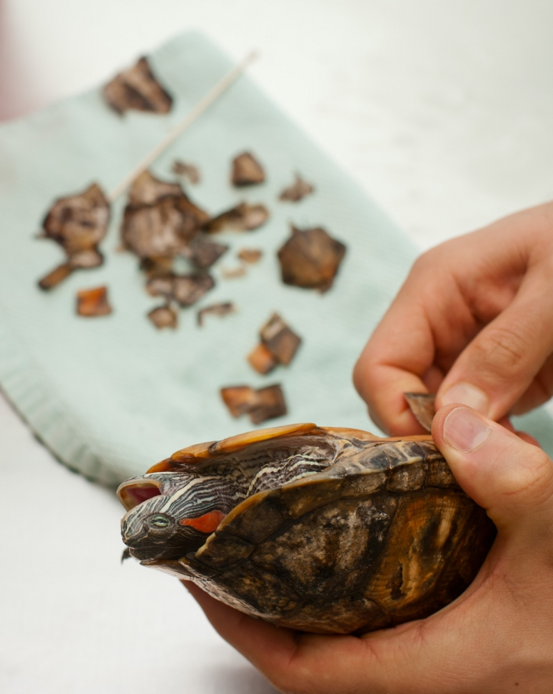 Removing scutes from a Red-Eared Slider.