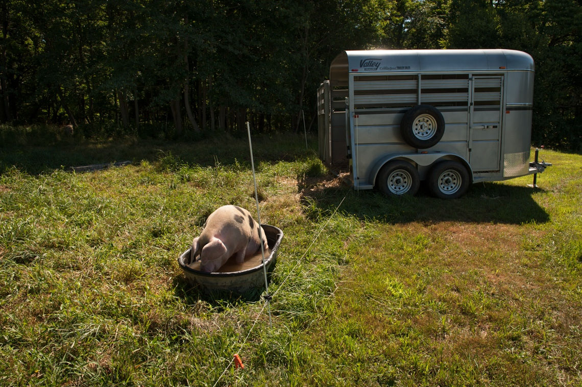 A Gloucesershire Old Spot pig, cools off on a hot summer day. A trailer is placed in the pasture, so that pigs become accustomed to it before being transported to slaughter.