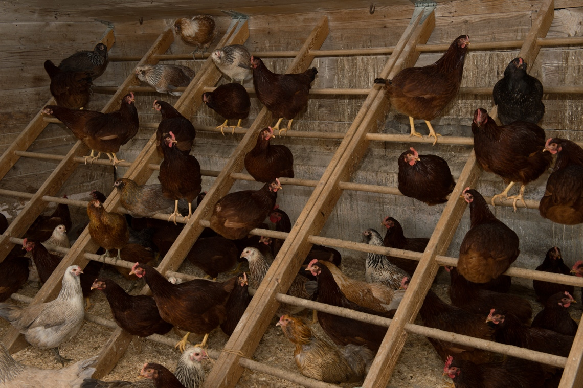 Inside their coop, chickens are kept safe from predators and inclement weather.
