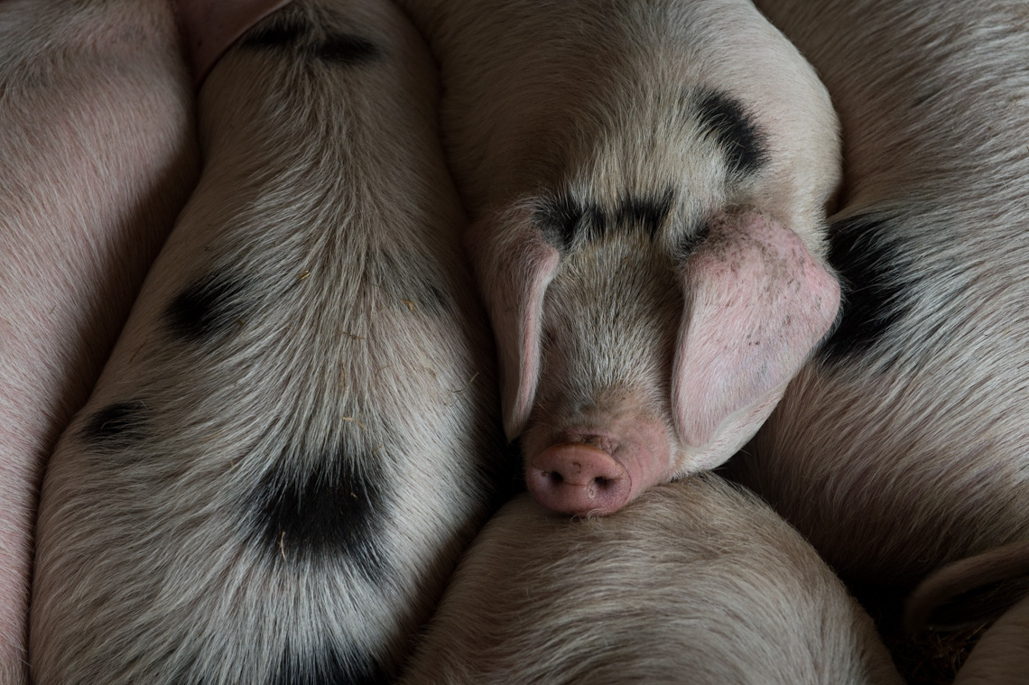 Baby pigs are allowed to nurse with their mother, and bond with their siblings.