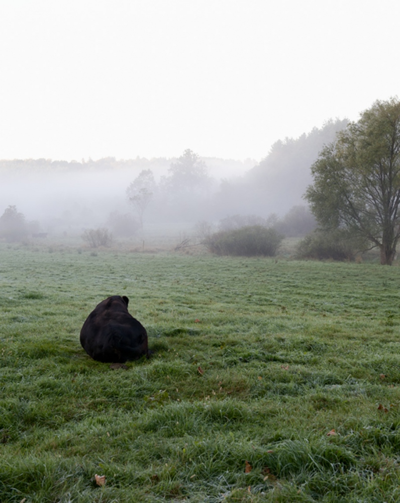 A solitary cow in the morning fog.
