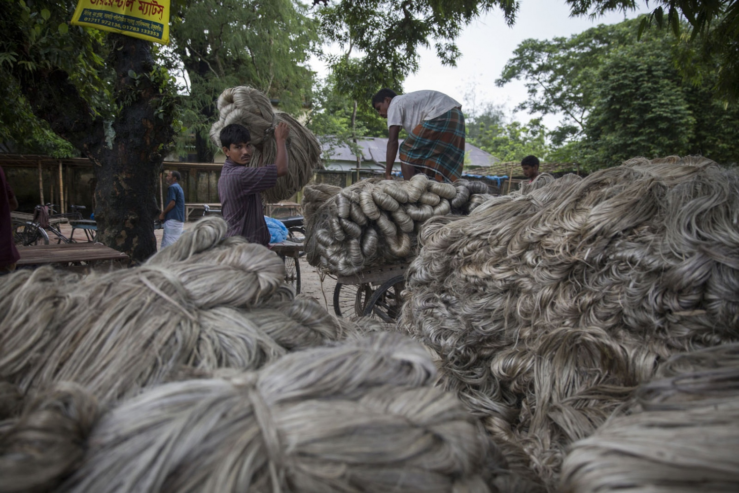 Every Saturday morning a large jute market is held in the main square of the town of Debiganj. From here the jute will be sold and transported to Dhaka. For the many inhabitants of the enclaves that surround the town, jute is where most of their income comes from and they will bring it here to sell. Jute is also known as the Golden Thread of Bangladesh is one of the largest industries in the country.