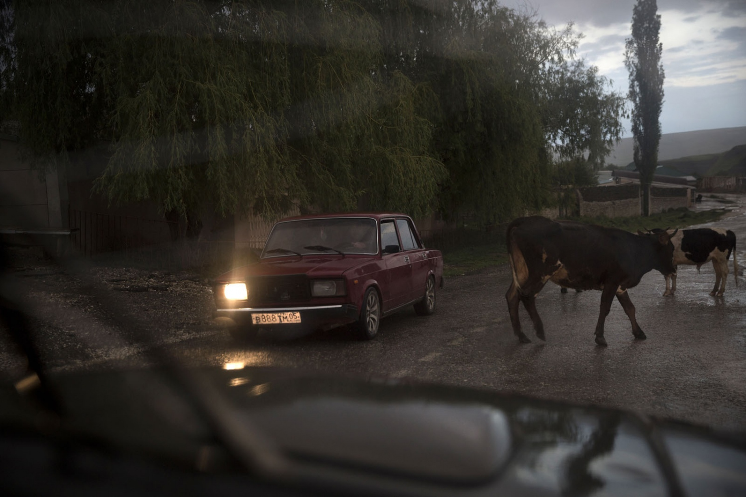 A man drives an old Lada car past a herd of cows.