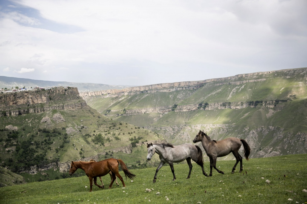 Domesticated horses run free on grassy mountain slopes outside the town of Khunzakh.