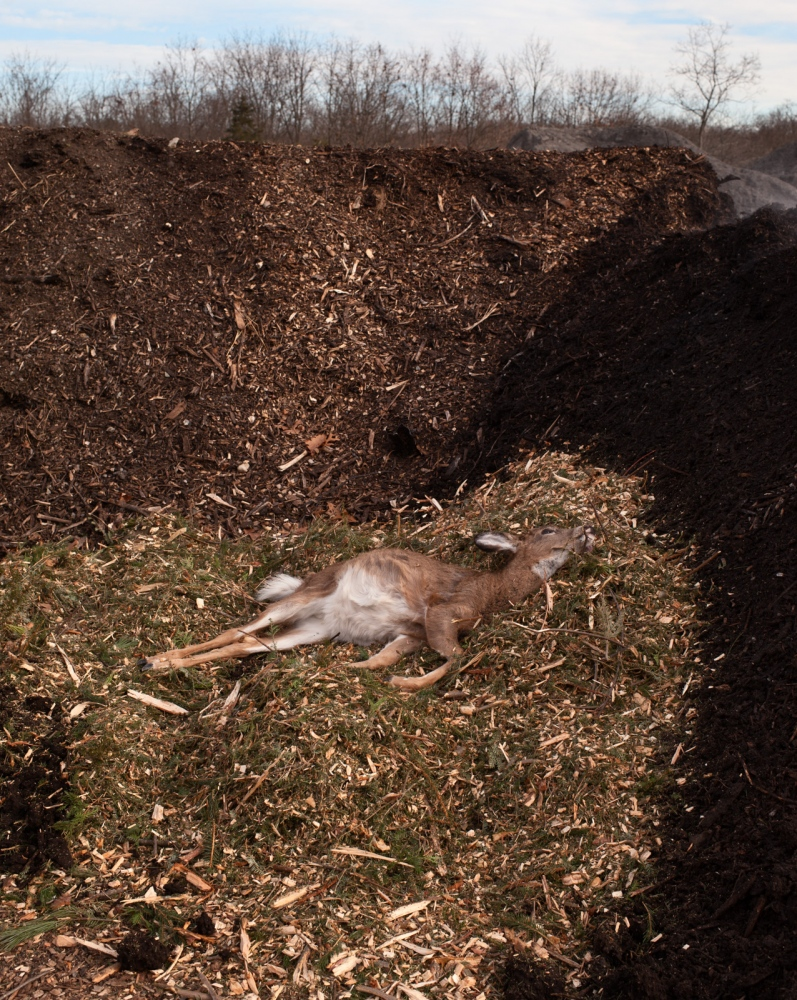 A fawn is laid to rest on composted Christmas trees.