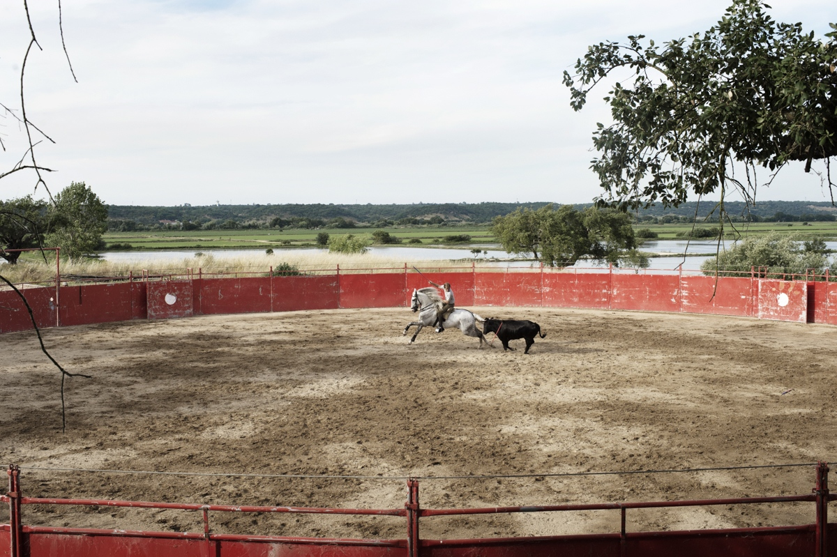 Coruche. The bullfight horseman João Ribero Telles trains in his personal arena with a veal. The Telles are one of the eldest family of bullfight horseman in Portugal, João is the third generation of bullfight horseman.