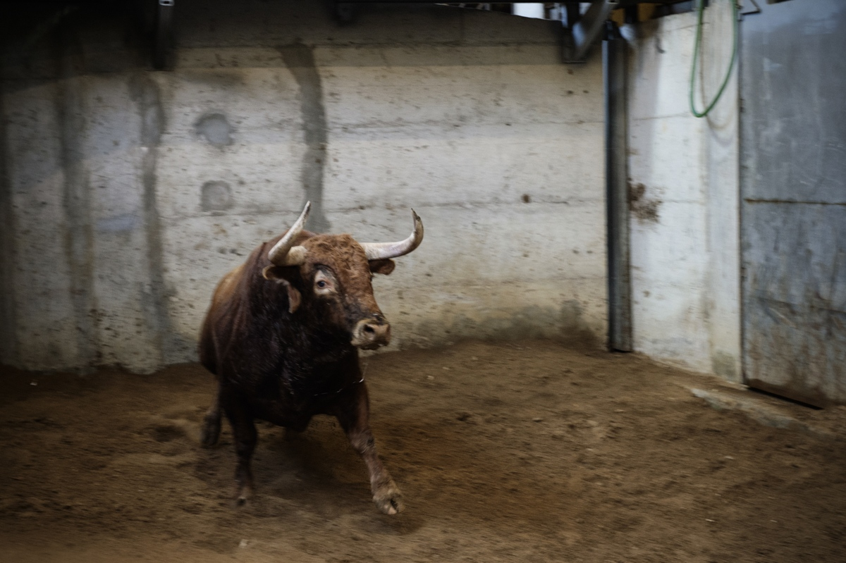 Lisbon. Campo Pequeno. A bull just arrived at the Lisbon bullfight arena is examined by the state veterinarian.