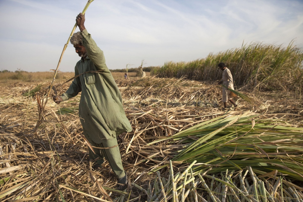 A Sheedi man, as Pakistan's African diaspora is known as, harvests sugarcane on a plantation. Bedin, Pakistan