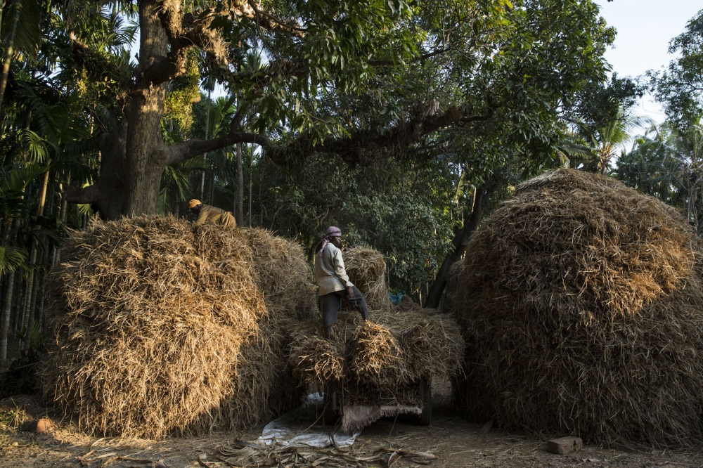Sidi men are employed as labourers loading straw in to piles after having just harvested the land for a Brahmin Hindu landowner. Sidi are not actually categorised in to any particular caste but because of their origin's are placed almost at the bottom of India's strict hierachy. Uttara Kannada, India