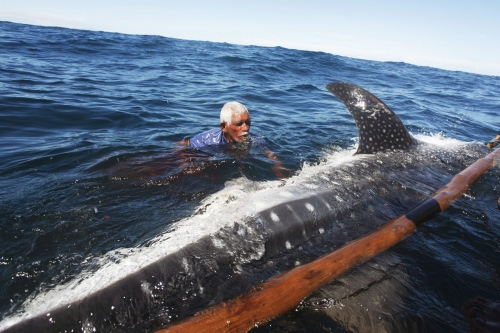 A whale shark is killed with a spear by Indonesia's last whale hunters.Lembata, Indonesia