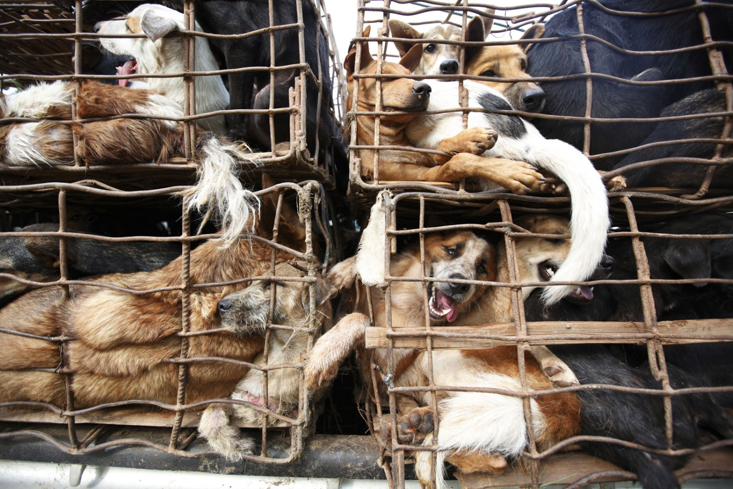 Dogs crammed in to metal cages, some up to 15 at a time, after being caught by the police. The perpetrators managed to escape. Nakhon Phanom, Thailand