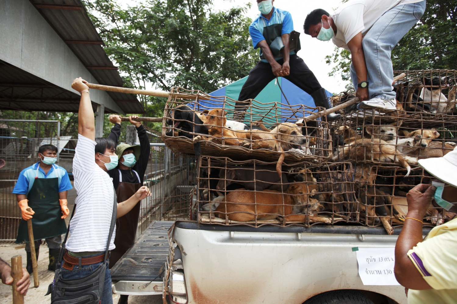Rescued during a recent bust on a collection centre that was about to send over 700 dogs to Laos, the dogs are now unloaded at the Government dog shelter at Nakhon Phanom, Thailand.