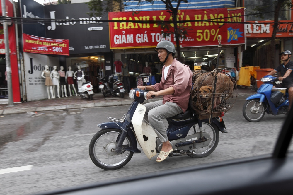 A man transports live dogs to a slaughter house to kill on the back of his bike. Hanoi, Vietnam