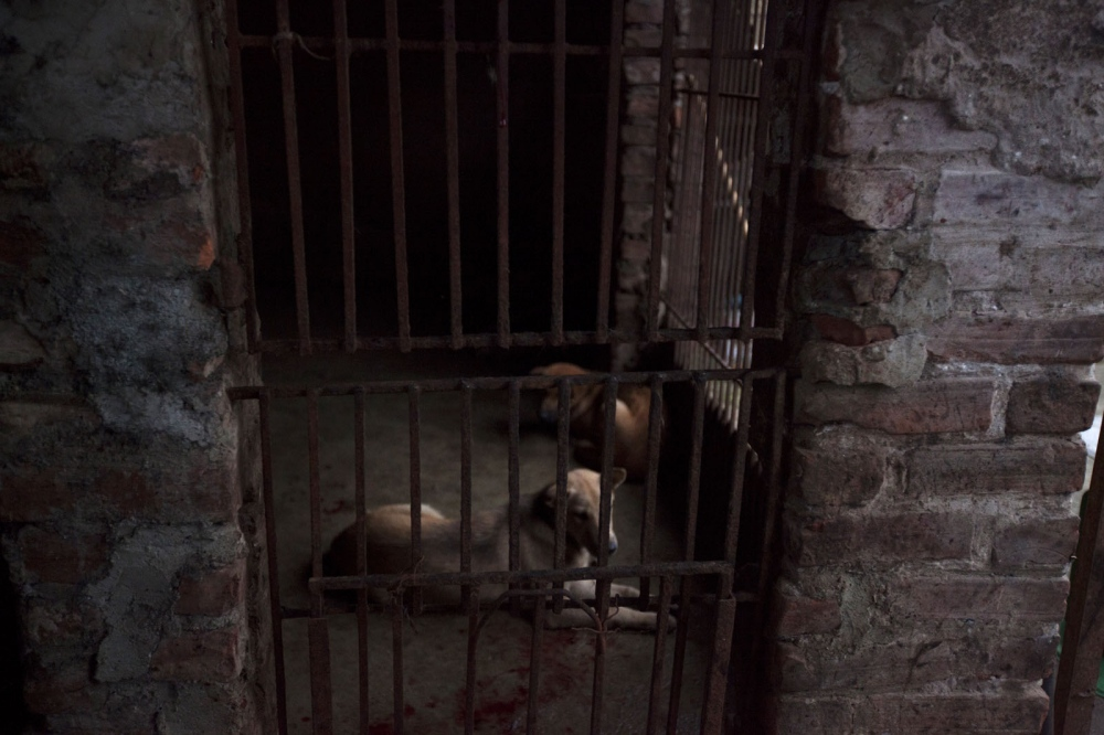 A dog sits inside a cage ready to be killed having just witnessed what has happened to the other dogs. Hanoi, Vietnam