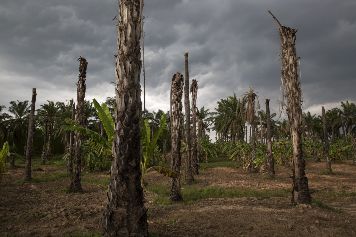 A storm moves over an area of dead palm oil trees that the villagers have started farming other produce.
