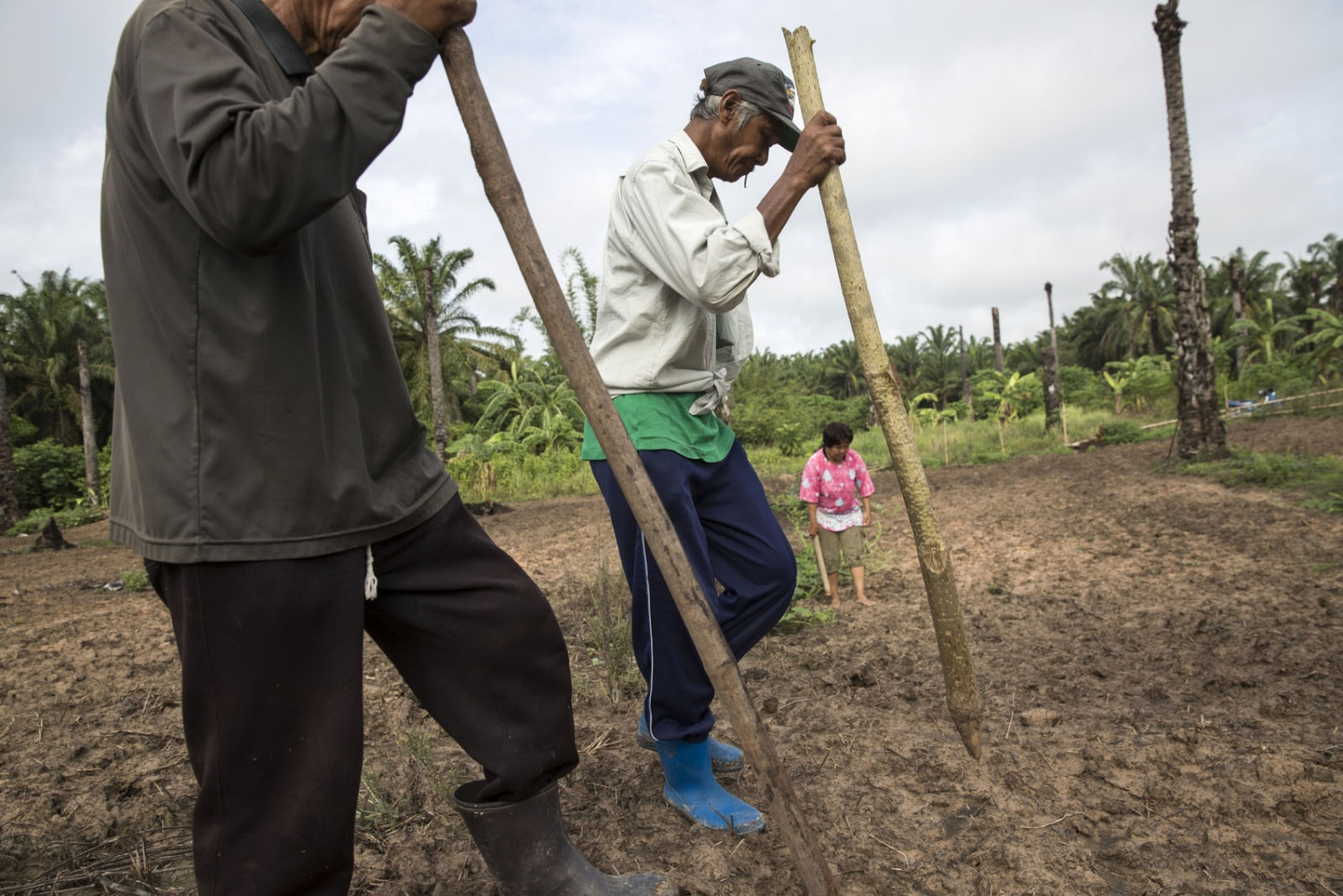 Community members plant corn on land cleared of palm oil trees.