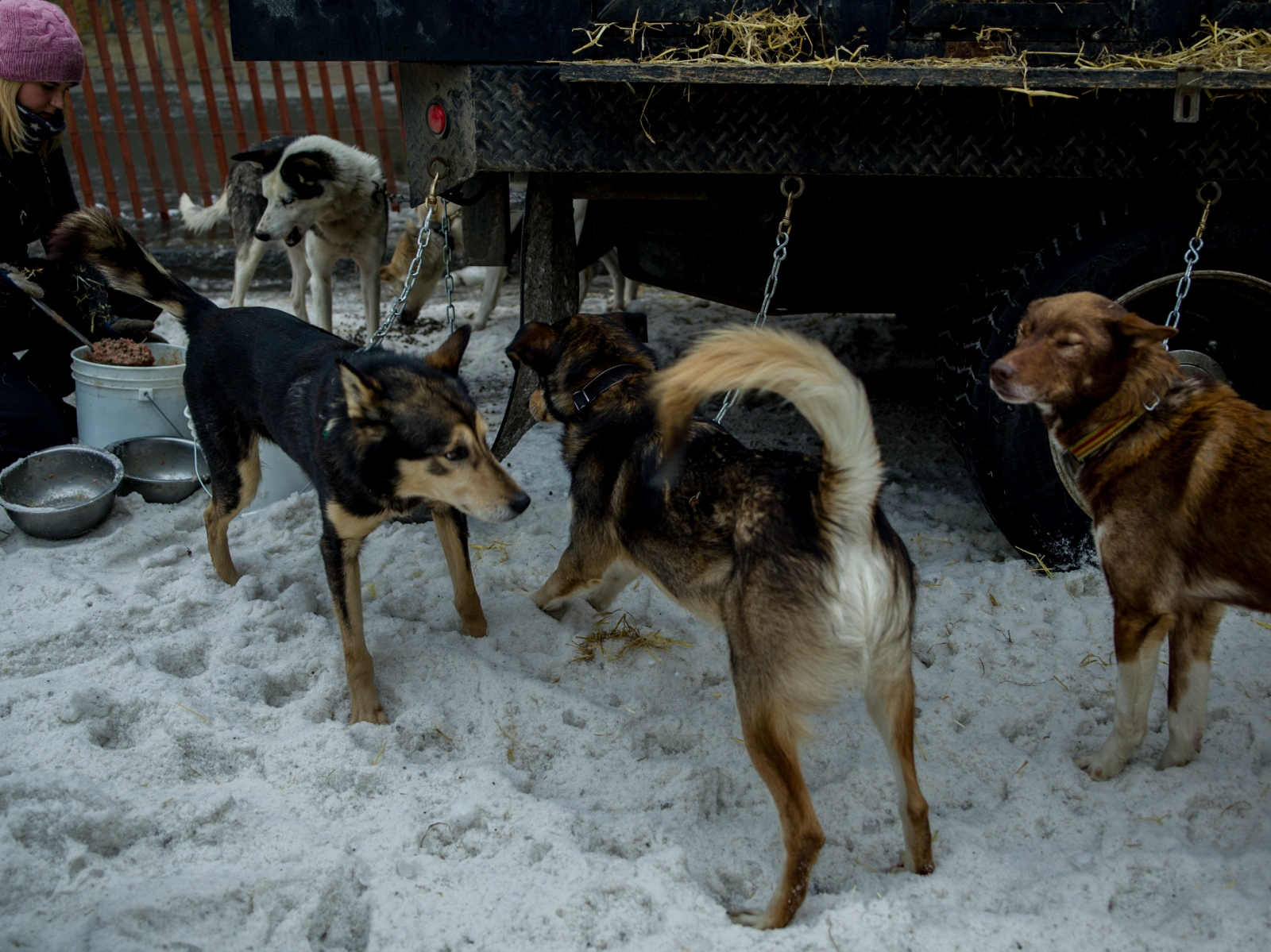 A dog handler feeds Tore Albrigtsen's dog team at the ceremonial Iditarod start in downtown Anchorage on March 5, 2016.