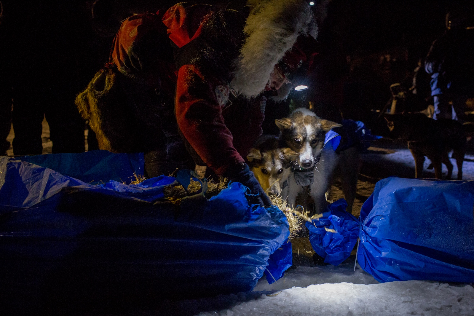 Aliy Zirkle lays down hay for her dogs after arriving third in Unalakleet in the early morning hours of March 13, 2016.