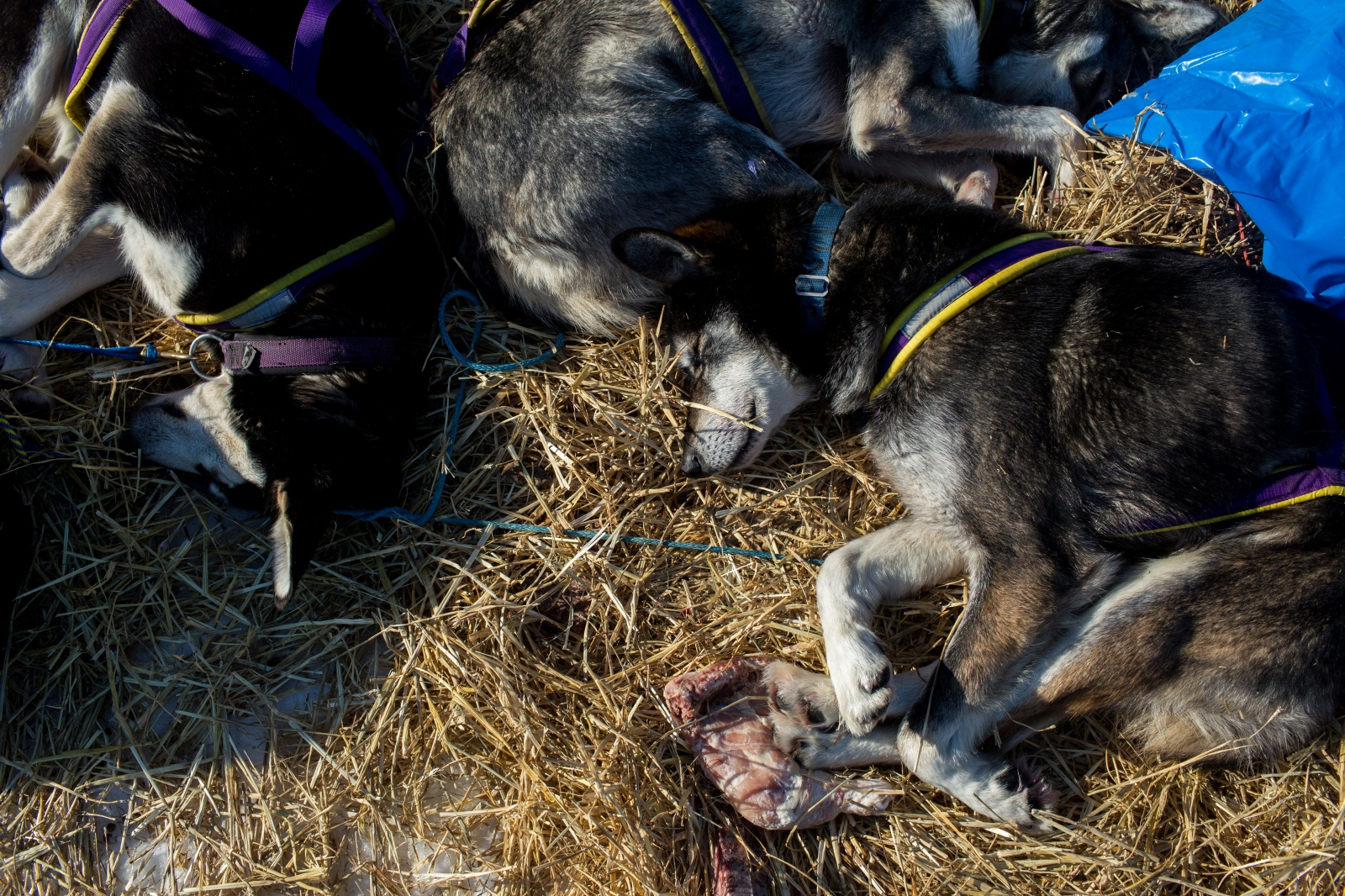 Dogs rest at the Unalakleet checkpoint during the 2016 Iditarod.