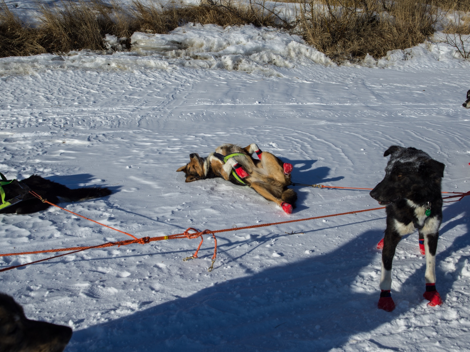 "Sigrid Ekran's dog team takes a short rest on the river several miles outside of Unalakleet on March 13, 2016. ""They're so hot in this weather,"" she says."