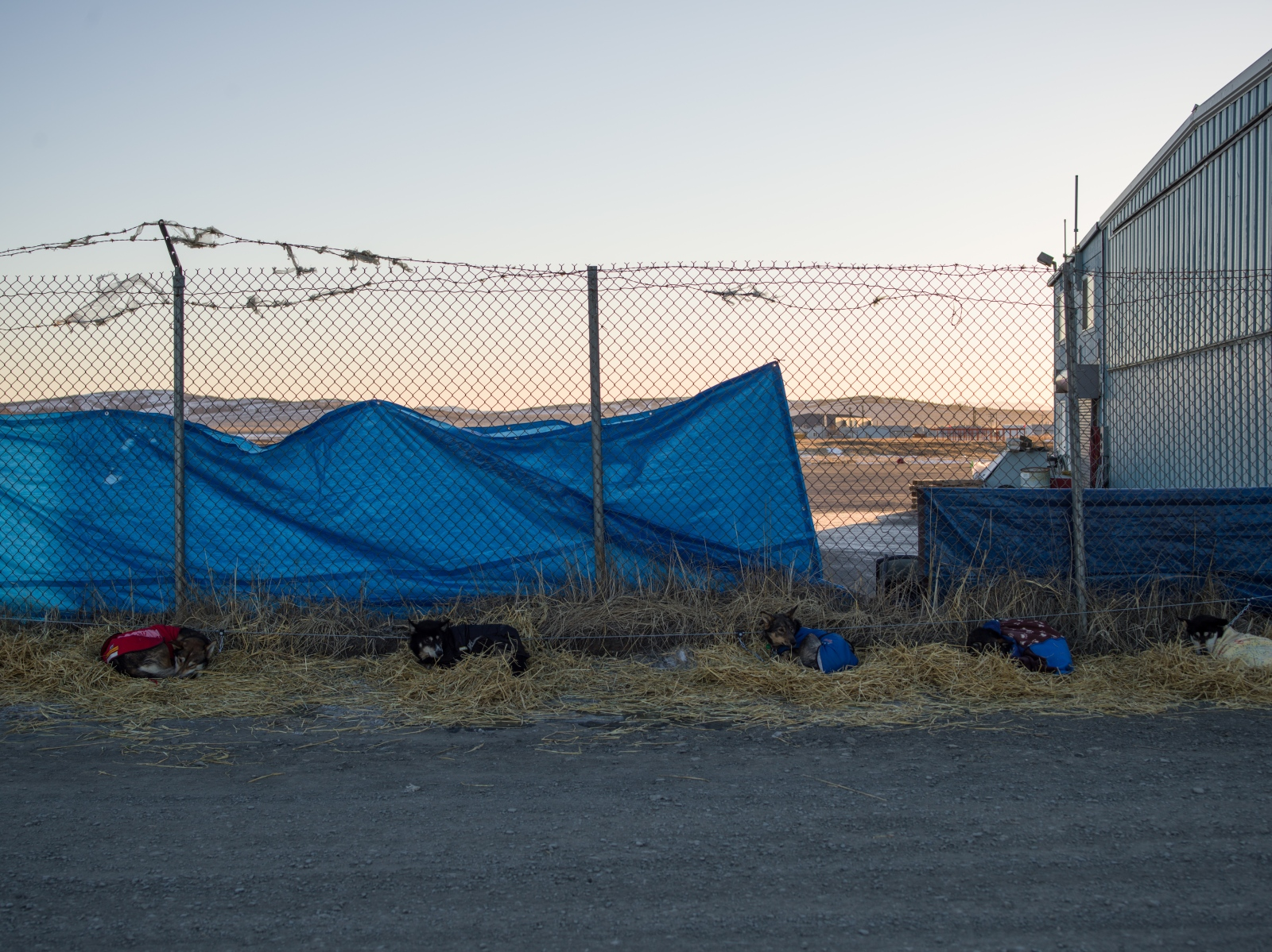 Dropped dogs rest outside of the Unalakleet airport during the 2016 Iditarod. When a dog is dropped from a team for any reason, it is tended to by veterenarians and then flown to Anchorage or another hub via the Iditarod Airforce and then transported home to their kennels.