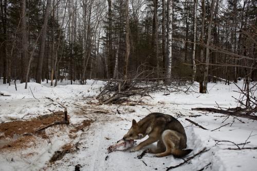 A guardian dog devours a deer skull near in the taiga