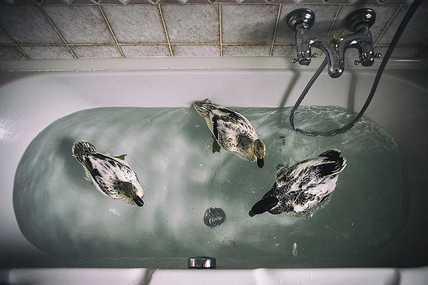 Ducks swim in Sgambati's home.