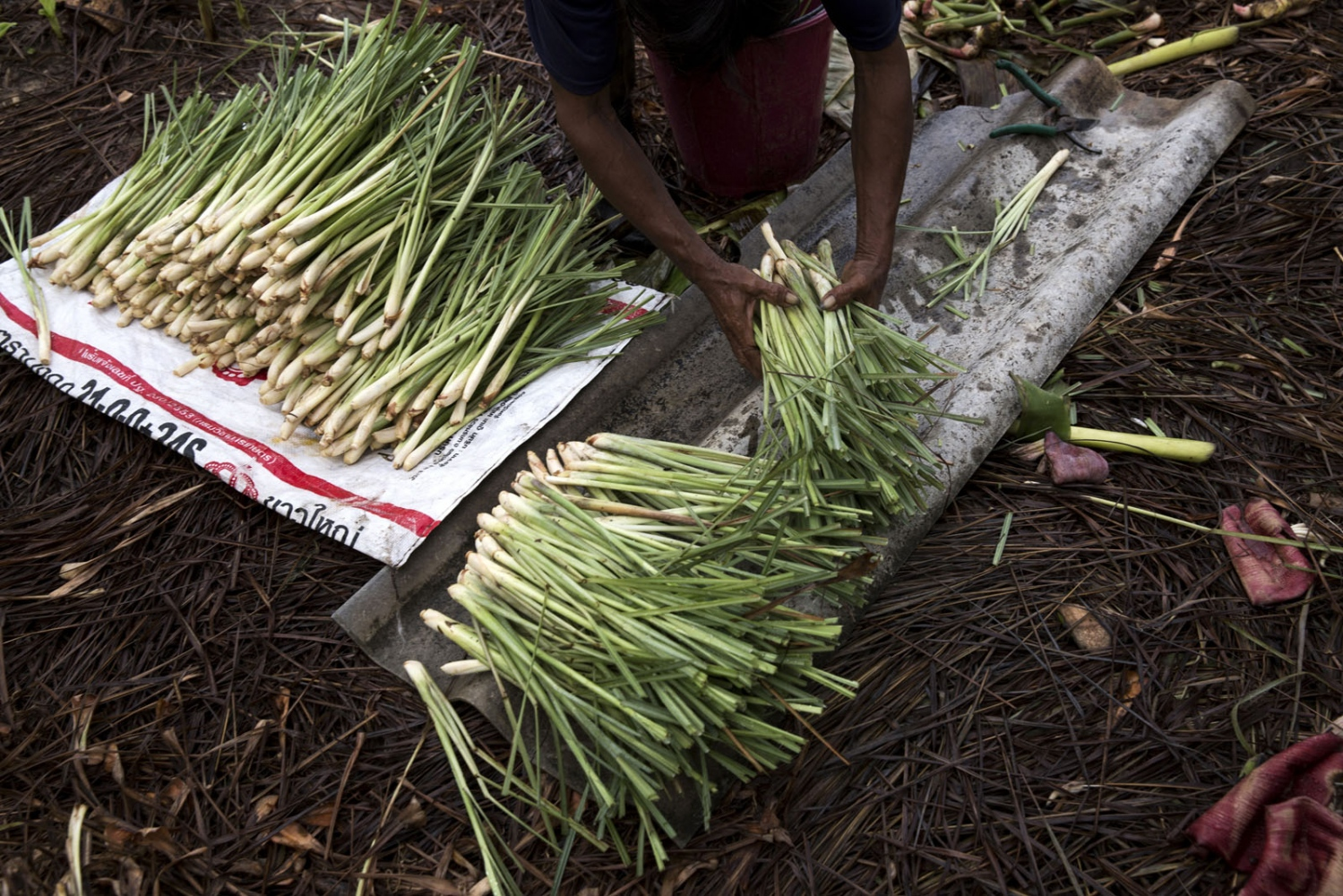 Recently harvested lemon grass is washed and packed ready to sell it at the market in the nearby town of Chaiburi.