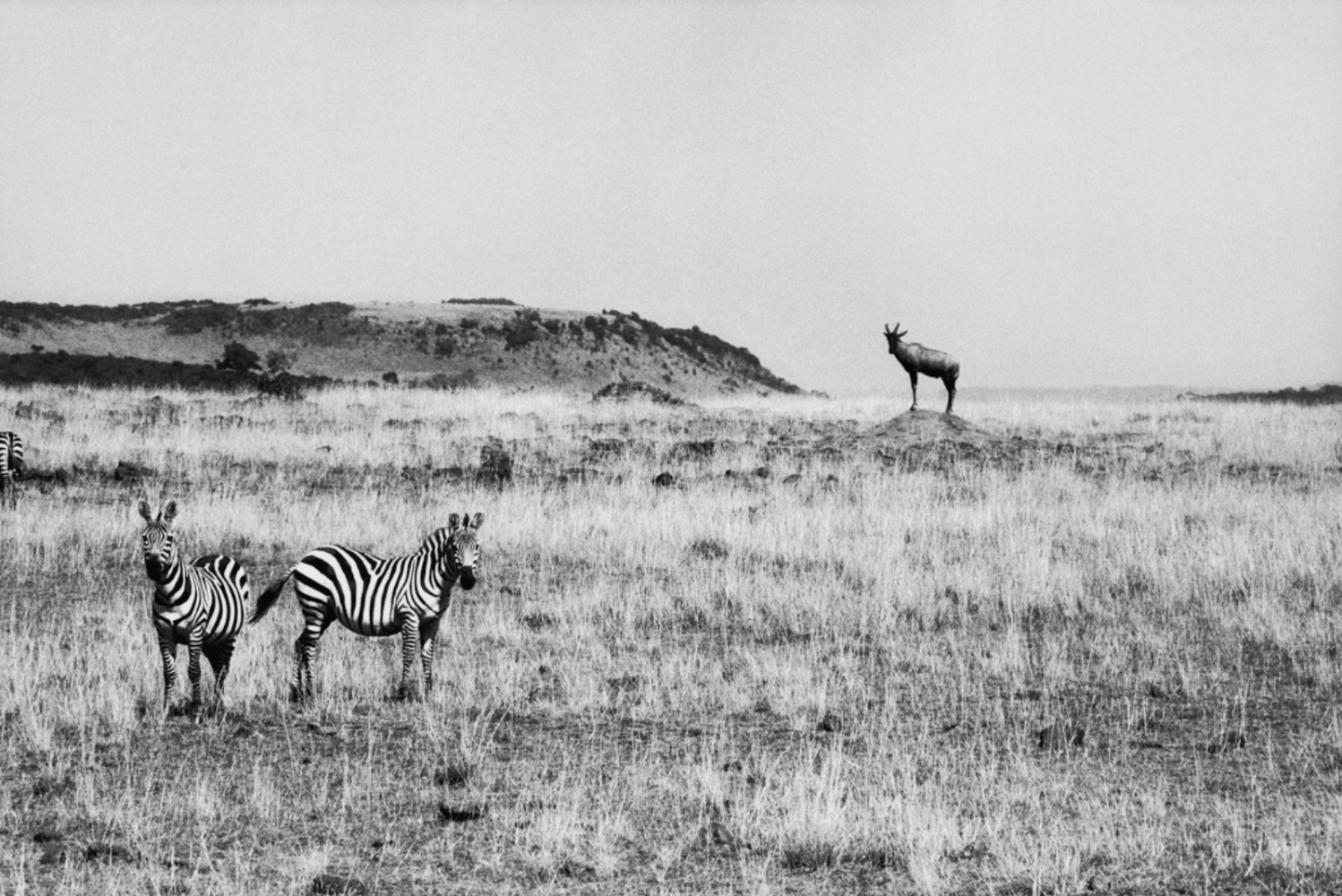 Two Zebras and an Antelope, Maasai Mara, Kenya, August 2002