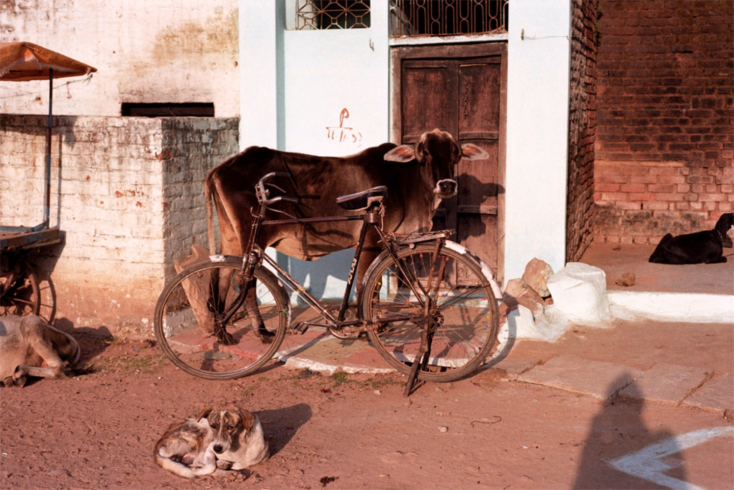 Cow and Bicycle, Khajuraho, India, November 2003