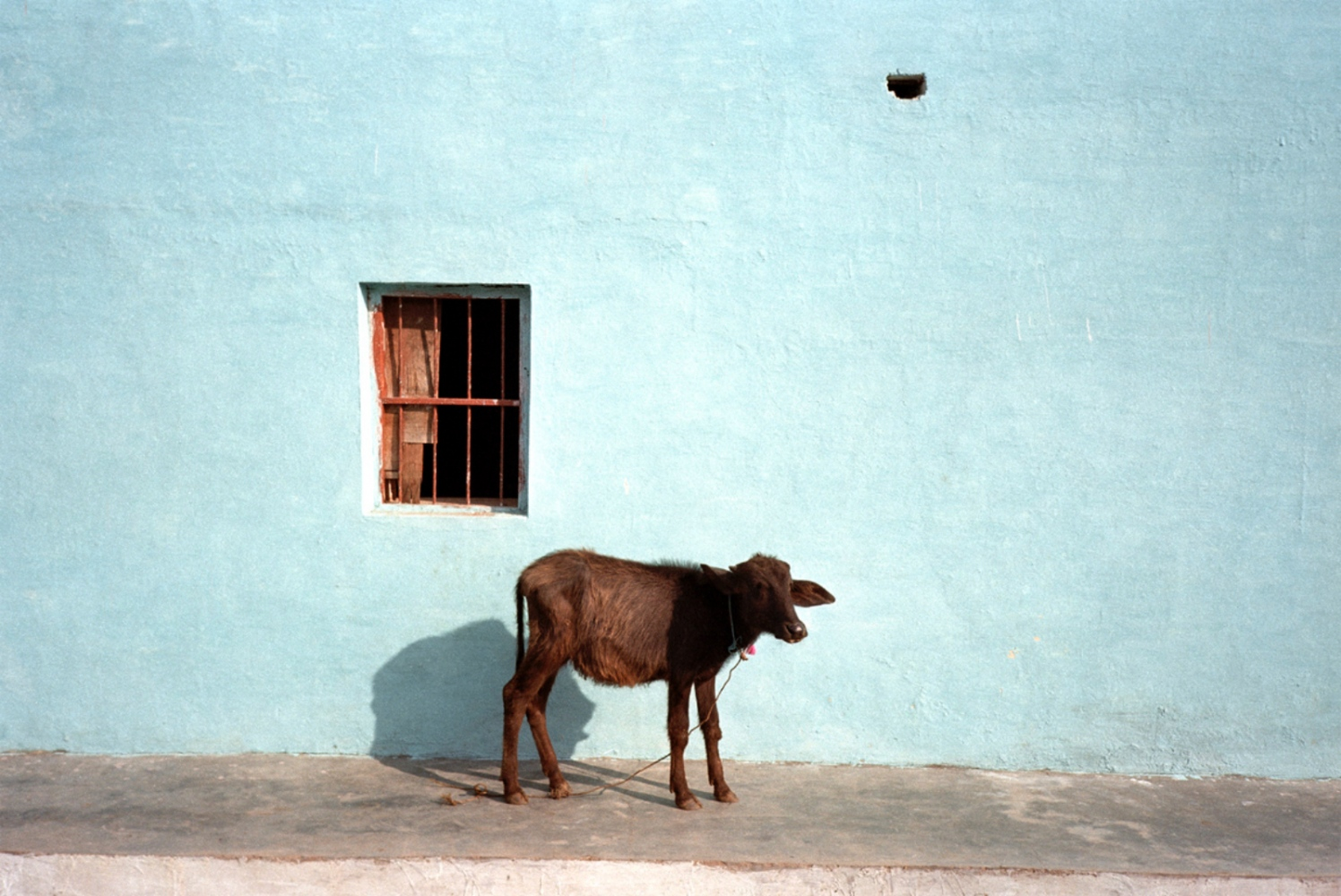 Cow and Blue Wall, Okhra, India, November 2003