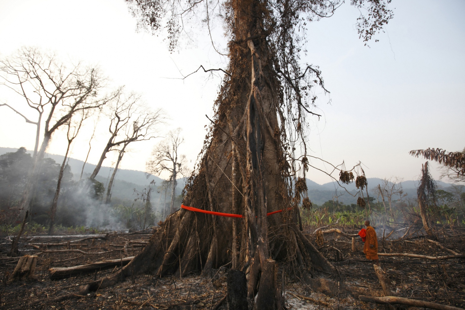 A Cambodian Buddhist monk blesses a large tree by wrapping orange cloth around it and praying. Following uncontrolled forest destruction in the Central Cardamom Protected Forest (CCPF) an eco-warrior monk movement has begun whereby monks and villagers try to protect areas of forest by blessing trees to deter would-be loggers. This was the first tree ordination in a forest area on the edge of Ta Tay Leu village that has just been cleared to make-way for a banana plantation. Whilst they were too late to save the smaller trees they were able to bless and tie orange material around the remaining large trees.