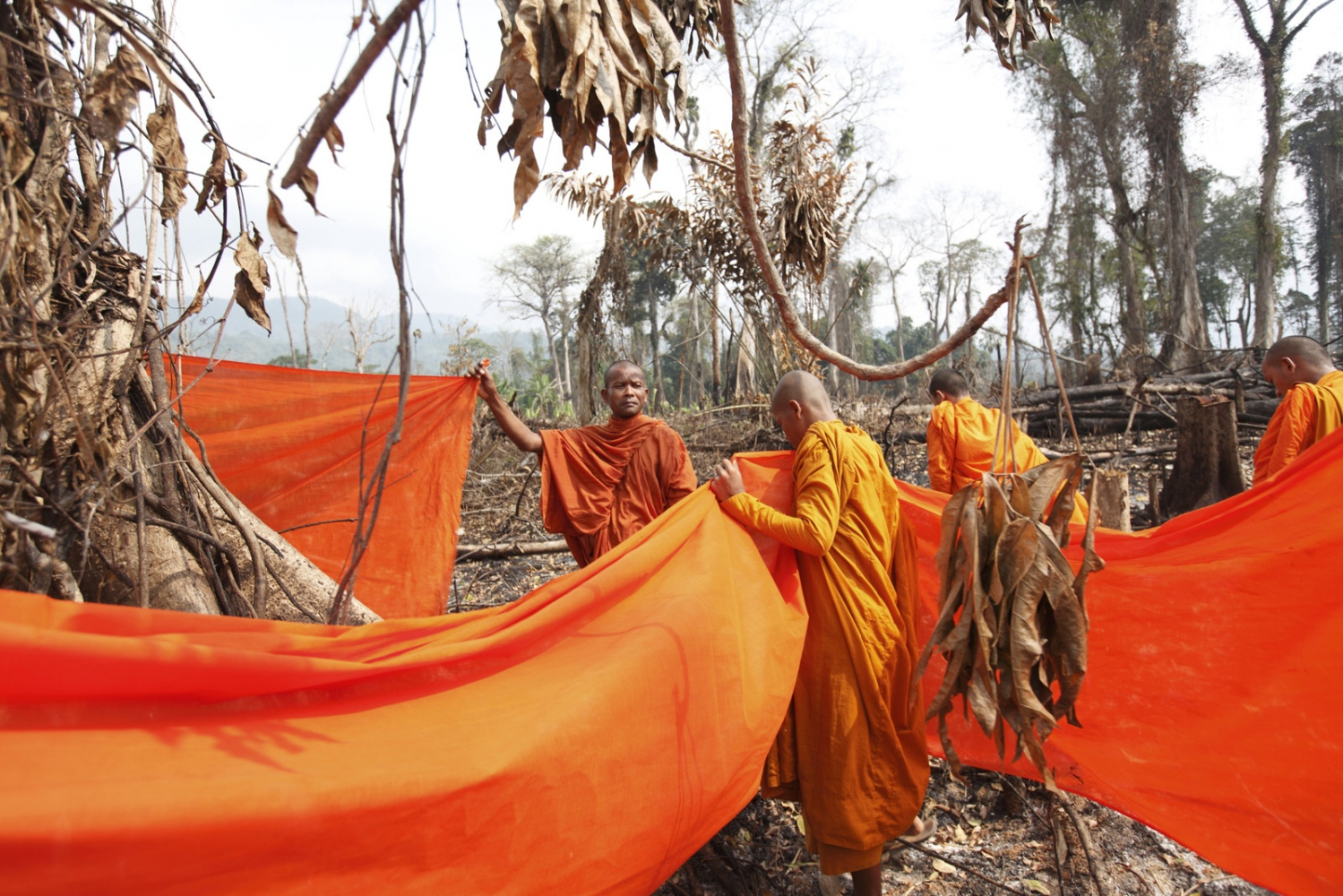 Cambodian Buddhist monka bless large trees by wrapping orange cloth around it and praying. Following uncontrolled forest destruction in the Central Cardamom Protected Forest (CCPF) an eco-warrior monk movement has begun whereby monks and villagers try to protect areas of forest by blessing trees to deter would-be loggers.  This was the first tree ordination in a forest area on the edge of Ta Tay Leu village that has just been cleared to make-way for a banana plantation. Whilst they were too late to save the smaller trees they were able to bless and tie orange material around the remaining large trees.
