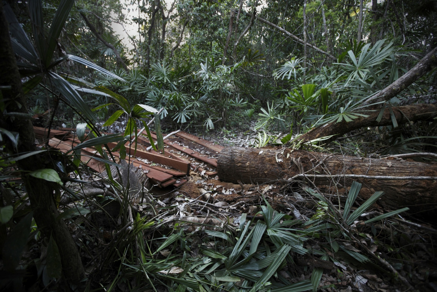 A logged tree in the Central Cardamom Protected Forest. The loggers fled.