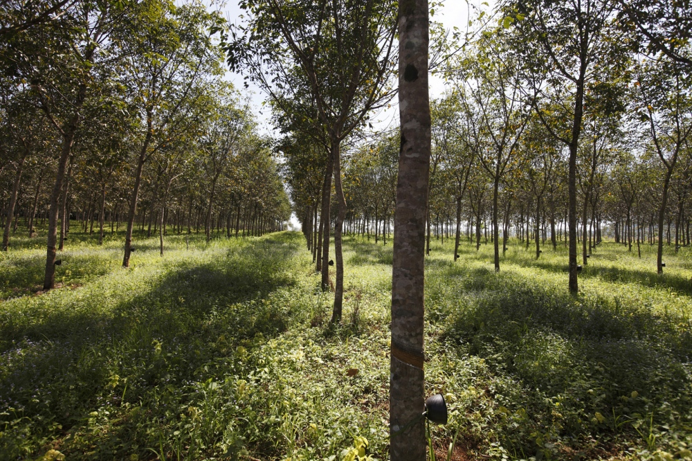 A rubber plantation built at the edge of a village in the Central Cardamom Protected Forest (CCPF). Vast areas of the forest are being encroached upon in this way.