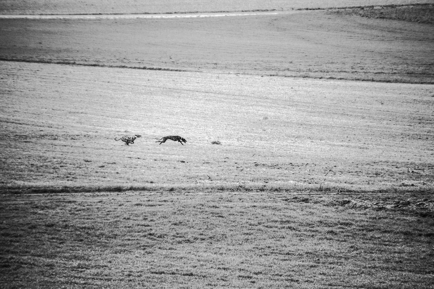 Hunting greyhounds. Hares reach up to speeds of 75 km /h. Valladolid, Castilla y León . Spain