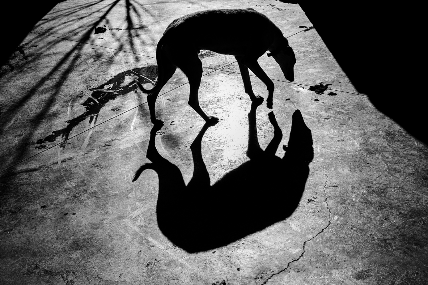 "Greyhound abandoned in shelter, "" Animal City "". Ciudad Real . Castilla la Mancha, Spain"