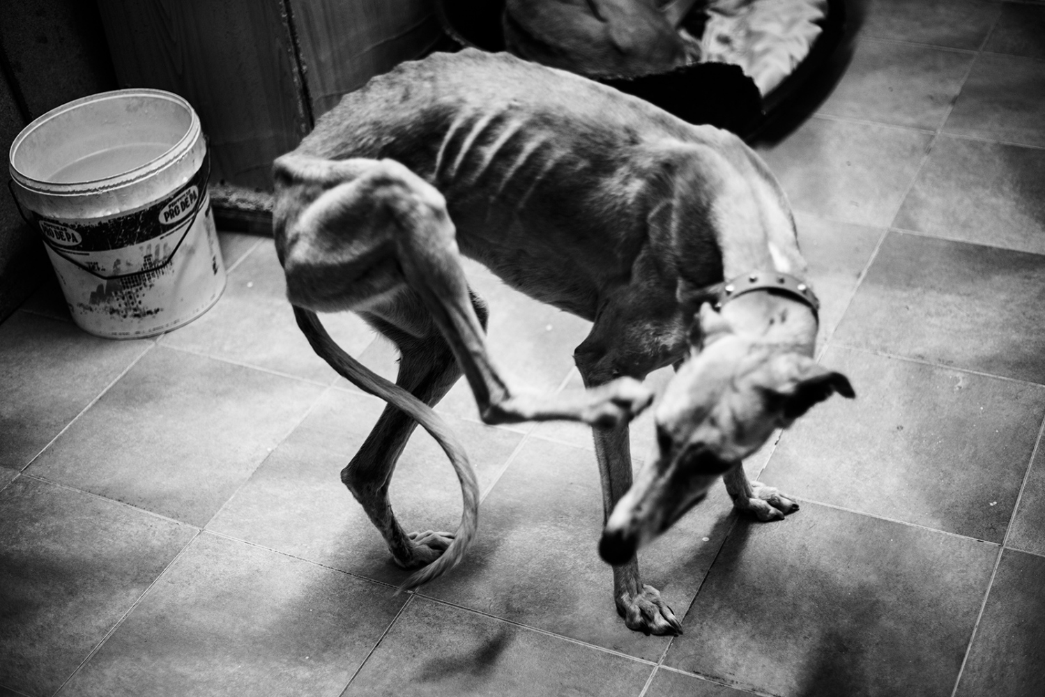 Abandoned greyhound transferred to a shelter. Many times the dogs come to the shelters severely injured and in extreme conditions of thinness. Ciudad Real, Spain.