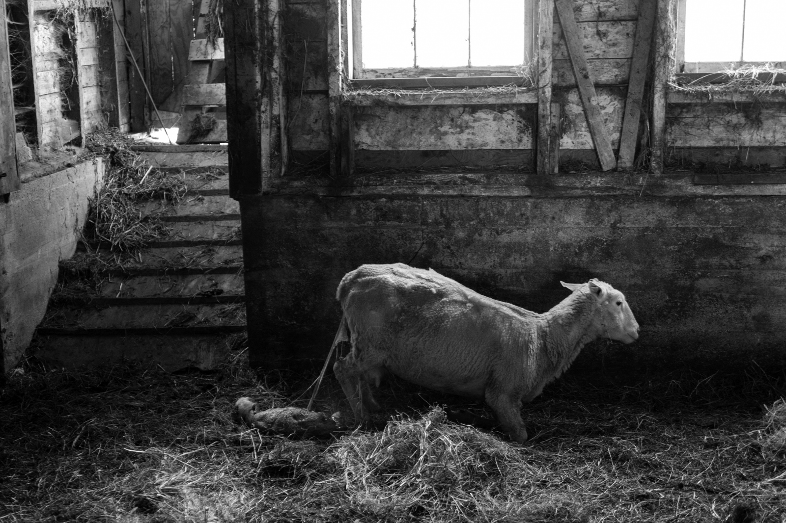 Lambing begins
