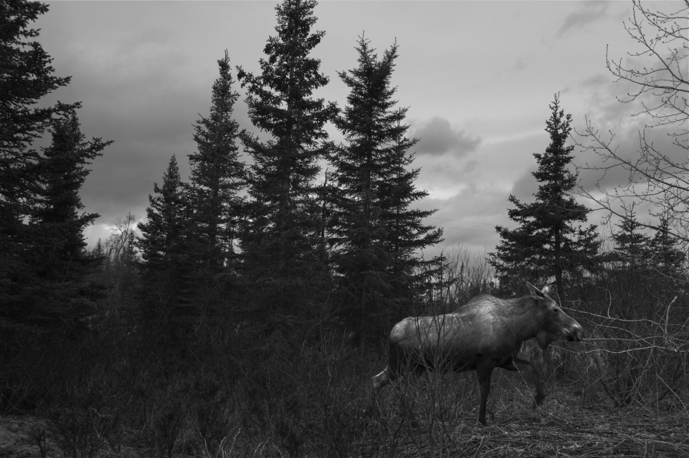 In June 1968, five Russian families emigrated and founded the small isolated village of Nikolaevsk in Alaska. They traveled more than 20,000 miles to settle at the end of the North American road. Moose and wild animals are part of the natural landscape of the Kenai Peninsula. Pascha occurred during breeding time, when moose are more dangerous.
