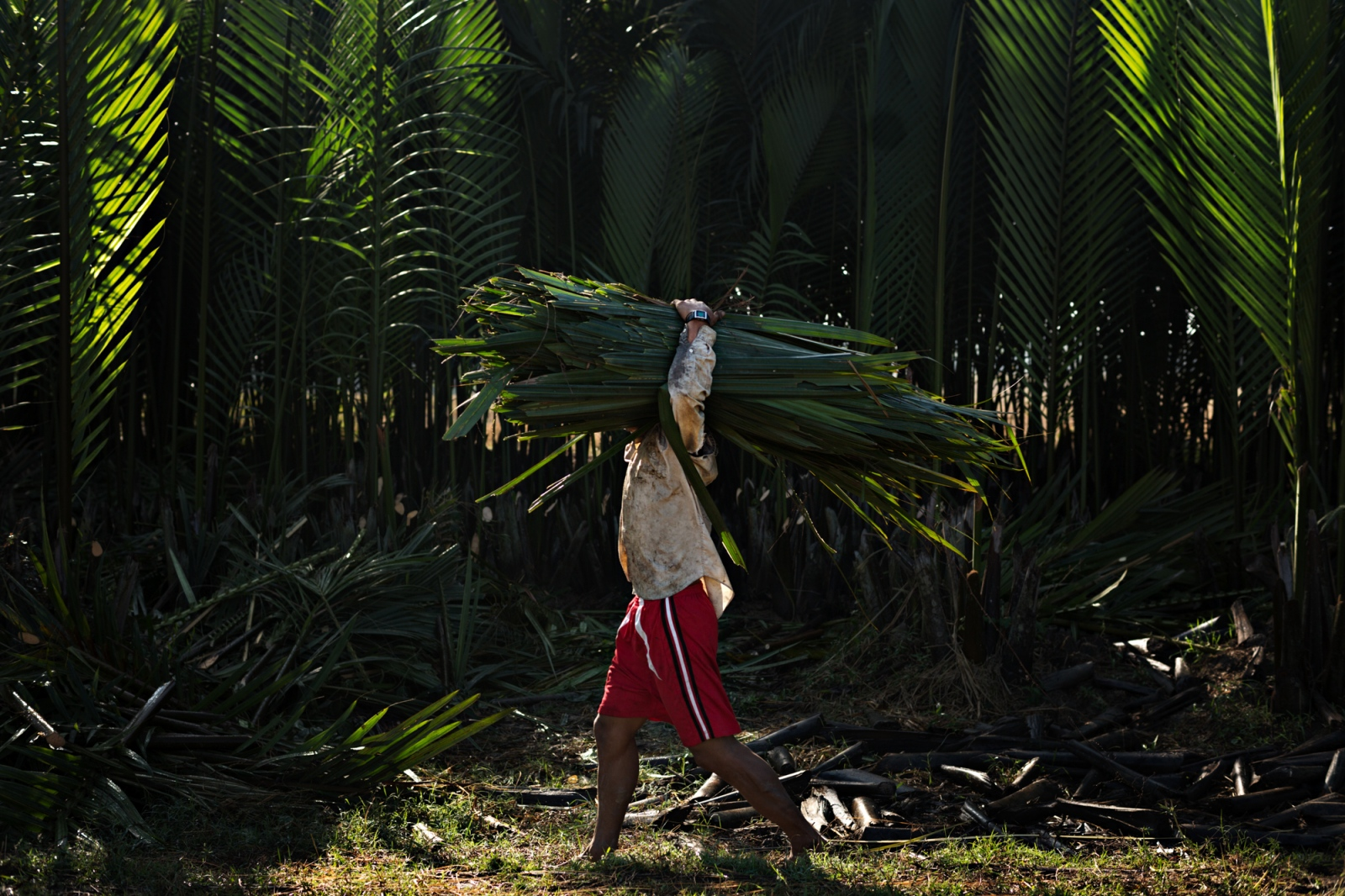 A farmer carries a bundle of palm fronds, which are used for roofing, back to his home in Pathain.