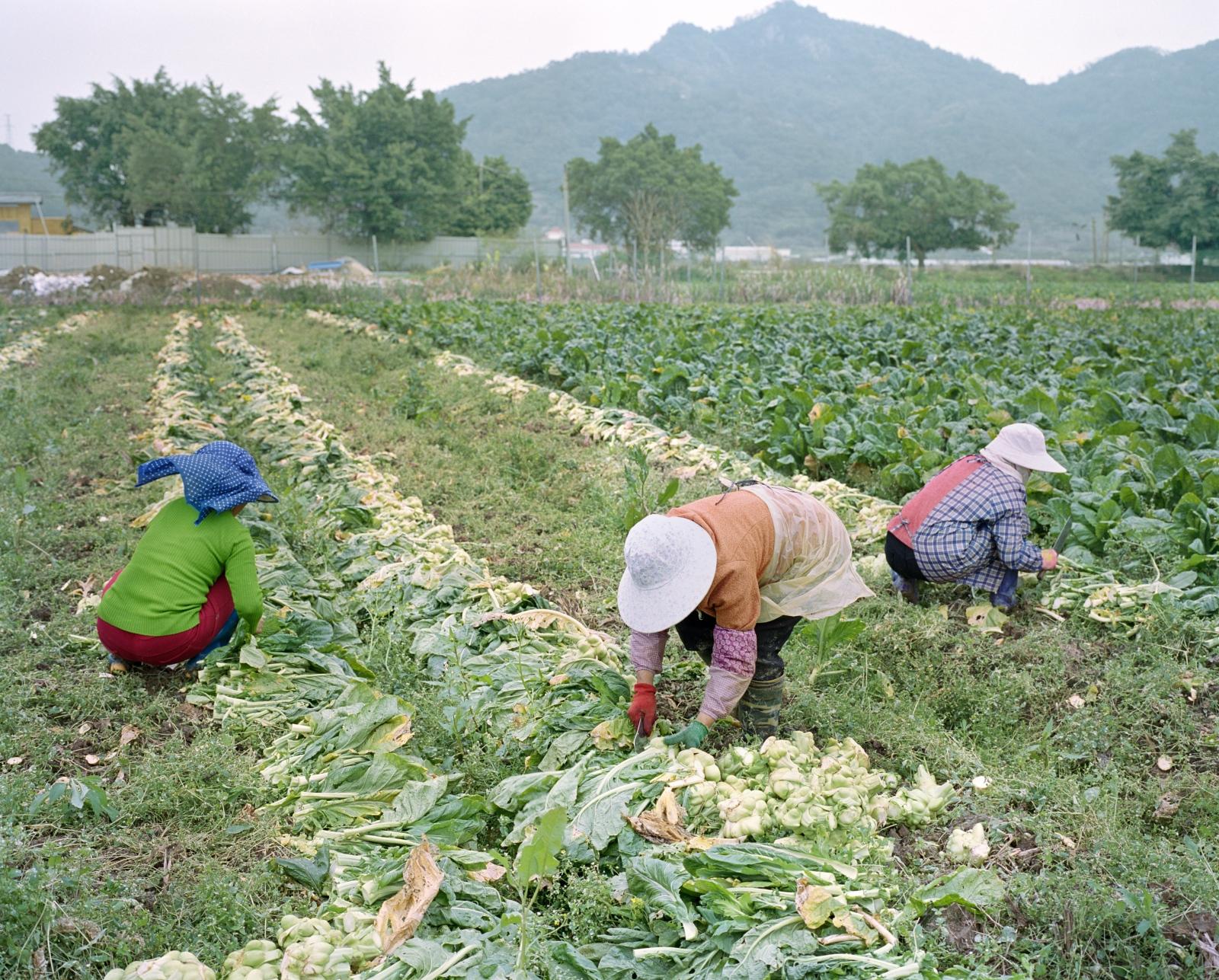 Harvest, Lang Qi Island 琅岐岛
