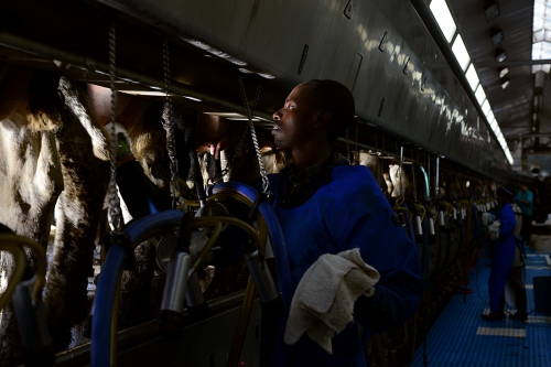 Celestin dries the teats of the cows between milking during his night shift.
